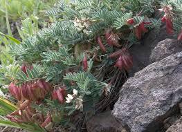 Astragalus australis var. cottonii