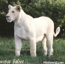 les lions blanc Images?q=tbn:ANd9GcQMu0dsa92er7RIcWd8CnEbGw4ohE6drQPfqYwL6jt9RBid-8Zvcg