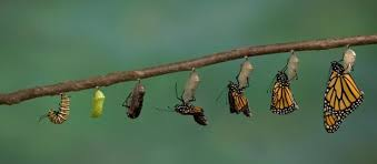 Image result for butterfly caterpillar