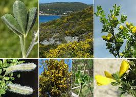 Cytisus villosus Pourr. - Portale alla flora del Parco Nazionale delle ...