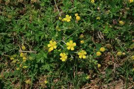 Potentilla argentea - Michigan Flora