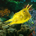 Images & Illustrations of cowfish