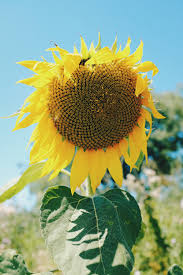 Hunting for <b>Sunflowers</b> by Sarah Nolen – The Real Story