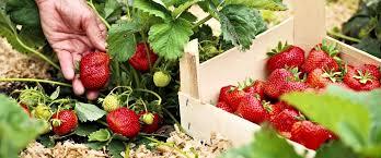 Чем обрабатывать клубнику весной от болезней и вредителей ...