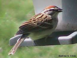 Image result for chirping swallow