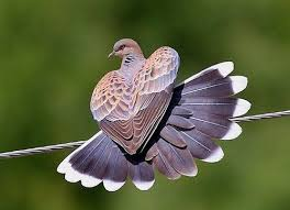 Image result for turtle dove images