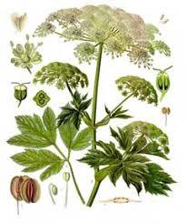 Peucedanum ostruthium Masterwort PFAF Plant Database