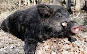Image result for săn heo rừng