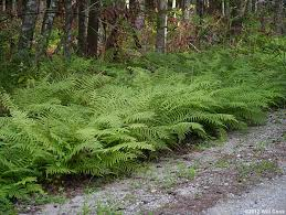 Image result for shield fern