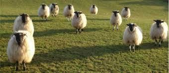 """Résultat de recherche d'images pour """"photo des moutons"""""""