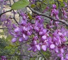 Cercis siliquastrum (Judas Tree) : MaltaWildPlants.com - the online ...