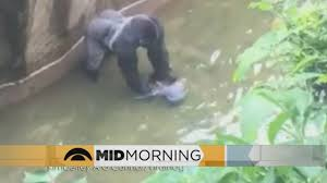 discussion where do you see yourself years from now wcco discussion should the gorilla have been shot