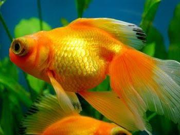 افضل انواع السمك سمكة ذهبية (شيكليد)