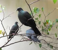 Japanese wood pigeon
