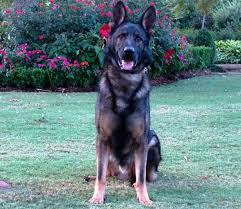Image result for pictures of guard dogs