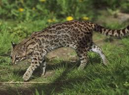 Gatto tigre
