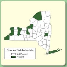 Lycopus europaeus - Species Page - NYFA: New York Flora Atlas