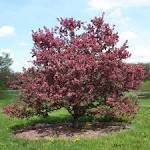 Images & Illustrations of crabapple
