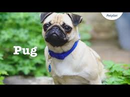 <b>Pug Puppies</b> & Dogs | Videos, Facts & Information | Petplan - YouTube