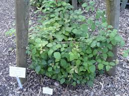 Rubus vestitus – Wikipédia, a enciclopédia livre