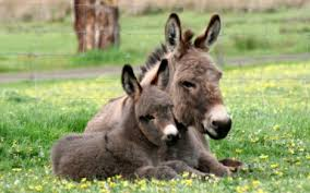 Image result for donkey