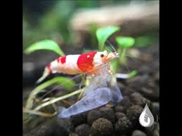 Pure <b>Red Line</b> (PRL) - What is a PRL? Breeding Tips and How to ...