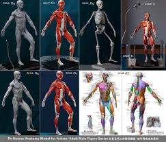 du anatomy model for artists muscles artistic mannequin male questions and answers about this item