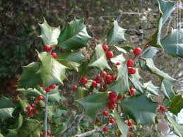 plantfiles pictures american holly dan fenton ilex opaca by dan fenton american holly showing lustrous dark green spiny foliage 11 22 08 scott county ky