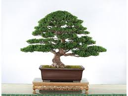 20 seeds bag juniper bonsai tree seeds potted flowers office bonsai purify the air bonsai tree for office