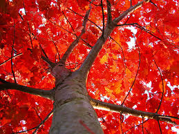 Image result for Red Oak Tree