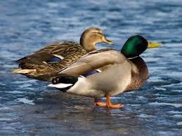Znalezione obrazy dla zapytania kaczki