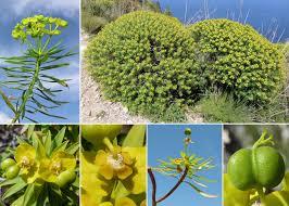 Euphorbia dendroides L. - Portale sulla flora del Parco Nazionale ...