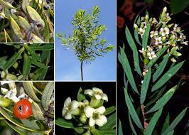 Daphne gnidium L. - Guida alla flora degli stagni temporanei della ...