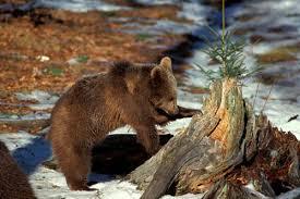 Risultati immagini per cucciolo d'orso bruno