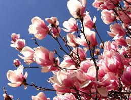 awesome white pink brown wood simple design pink magnolia tree spring flowering outdoor at house with awesome white brown wood unique design cool