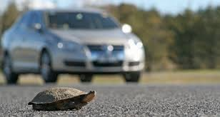 Image result for tortoise crossing the road