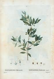File:05 Fontanesia phillyraeoides par Pierre-Joseph Redouté.jpeg ...
