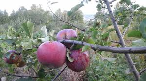 blue pearmain apple general fruit growing growing fruit 20150924 071223 jpg2048x1152 946 kb