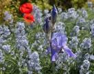 dalmatian iris