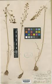 Ornithogalum sphaerocarpum A.Kern. | Plants of the World Online ...