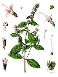 Mentha - Wikipedia