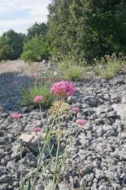 Centranthus angustifolius - Wikipedia, la enciclopedia libre