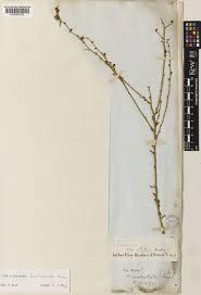 Convolvulus humilis Jacq. | Plants of the World Online | Kew Science