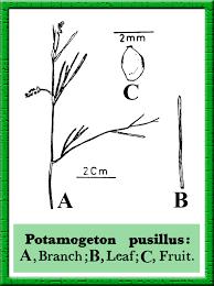 Potamogeton pusillus in Flora of Pakistan @ efloras.org
