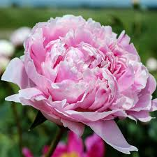 """The <b>King of Flowers</b>"" – Rexius"