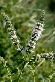 Mentha spicata - Michigan Flora