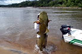 Image result for giant catfish