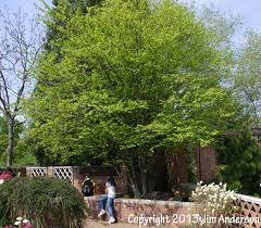 Image result for musclewood tree