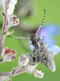 Pilemia tigrina (Mulsant, 1851) on Anchusa barrelieri (All.) Vitman at ...