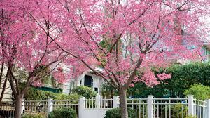 <b>Cherry Blossom</b> Trees - 14 Things to Know about <b>Cherry Blossoms</b> ...